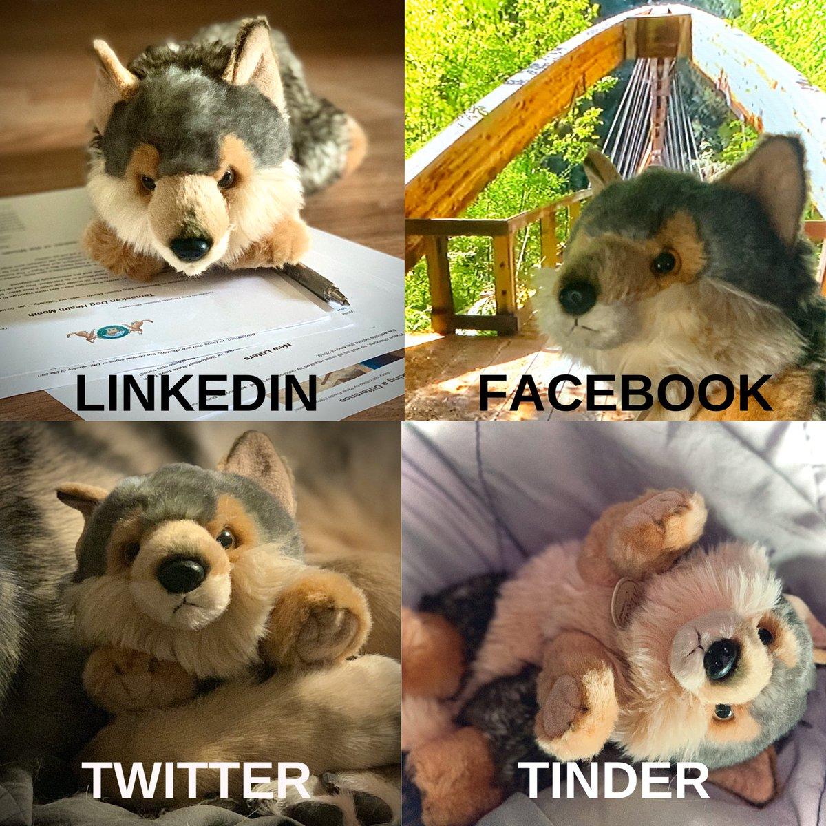 Here is our #DollyPartonChallenge Show is yours!#TDR #TamaskanDogRegister #TamaskanDog #Tamaskan #Dog #TamaskansOfTwitter #DogsOfTwitter #NotAWolf #WolfLookAlikeBreed #Fun #UnofficialMascot