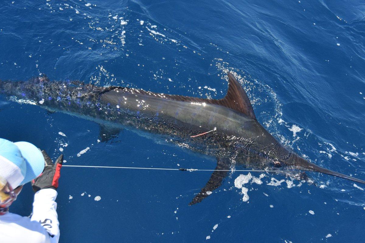 Flamingo, CR - Bushwacker released a Blue Marlin.