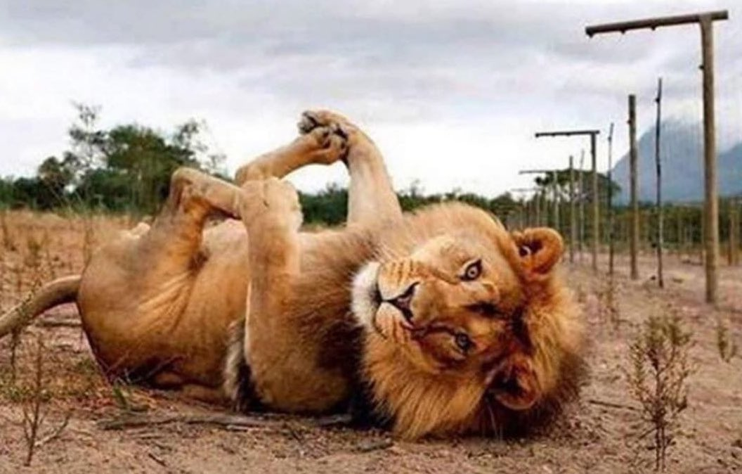 When you're a lion and she calls you #Baby 😂❤️