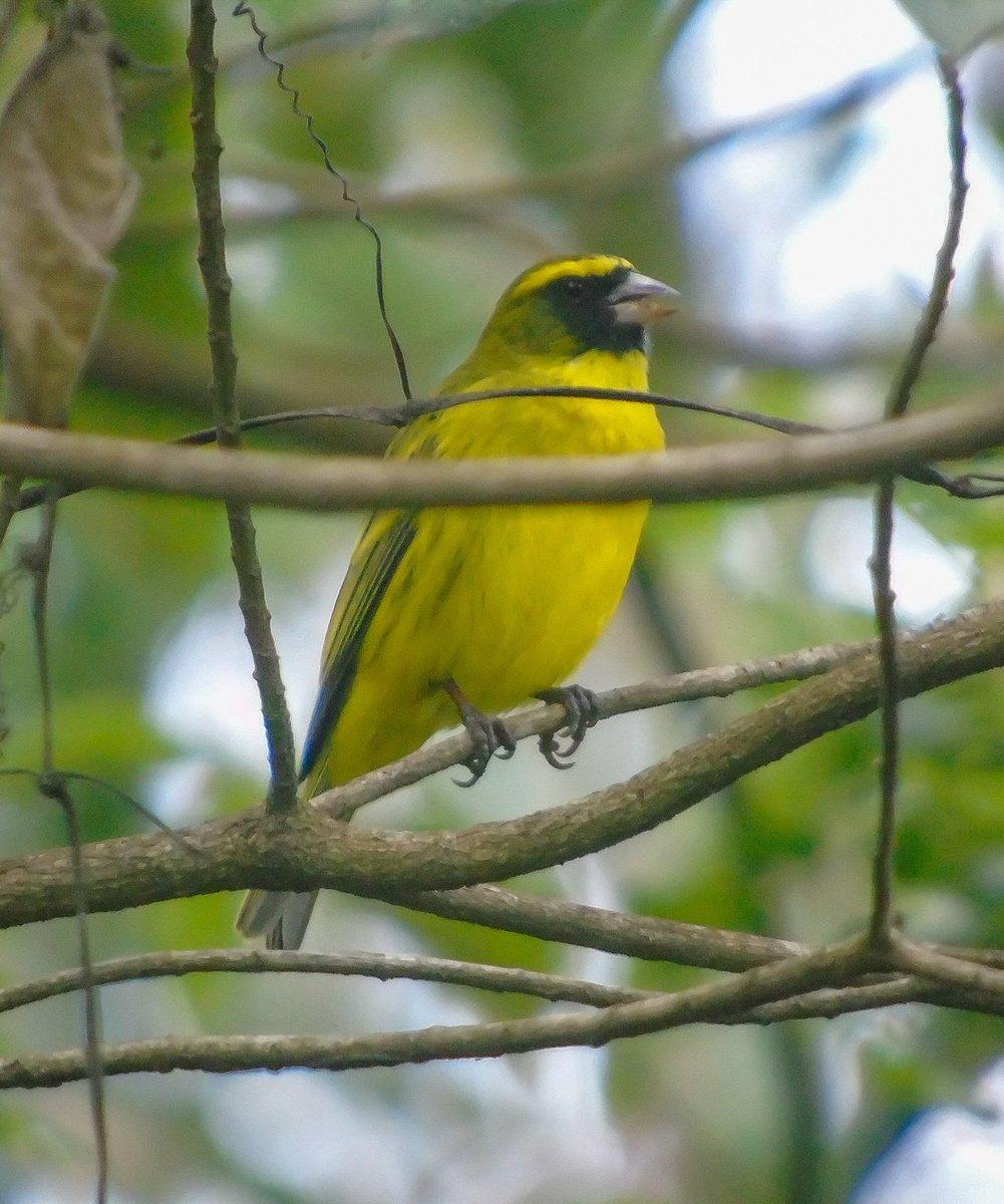 Colourful African citril to kickstart the new week. #birding #birdphotography #birdwatching #nature #wildlifephotography #tembeakenya #magicalkenya.pic.twitter.com/WbTN3GSAjl