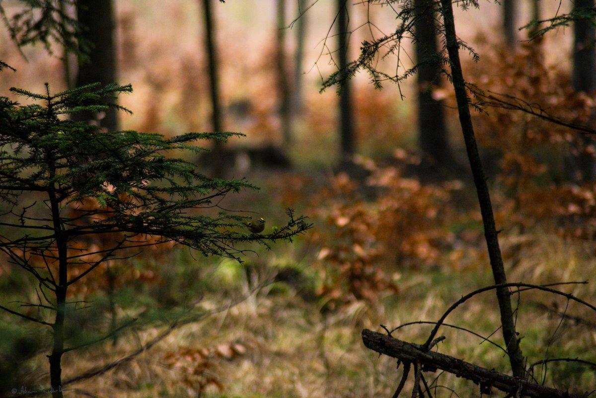 #birds #nature #forest #wildlifephotography #NaturePhotography #birdwatching #lasy #ptaki #Polandpic.twitter.com/OQuG3UeIlS