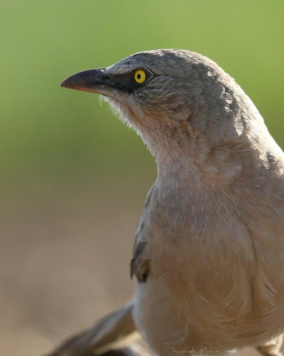 Large grey babbler  #bird #birdwatching #birding #nature #BirdsofPray #naturephotography  #Canon #canonphotography #Birdland #wildlife #wildlifephotography @CanonUKandIE @Canon_India @NatGeo @CanonNederland @CanonMEA @nature @Discovery @CanonCanada @BBCEarthpic.twitter.com/GZsIvVAoSN