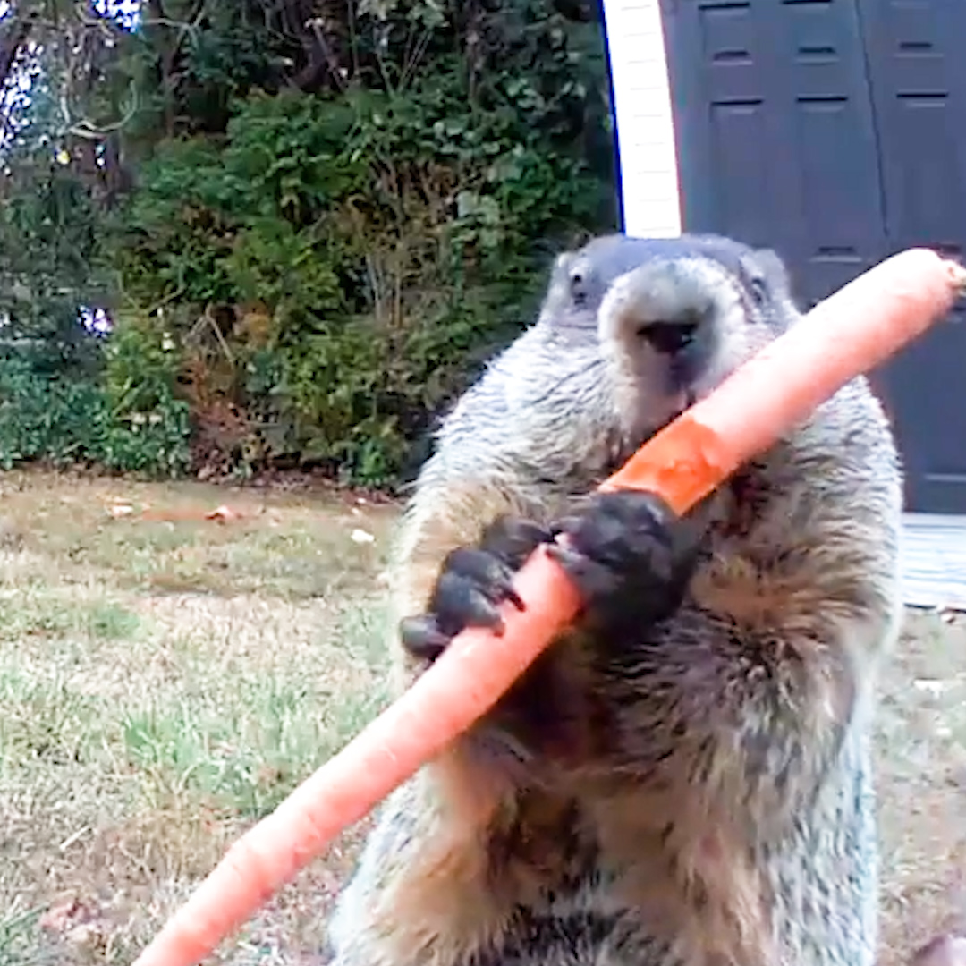Guy catches adorable groundhog eating his veggie garden — and lets him have whatever he wants 💚