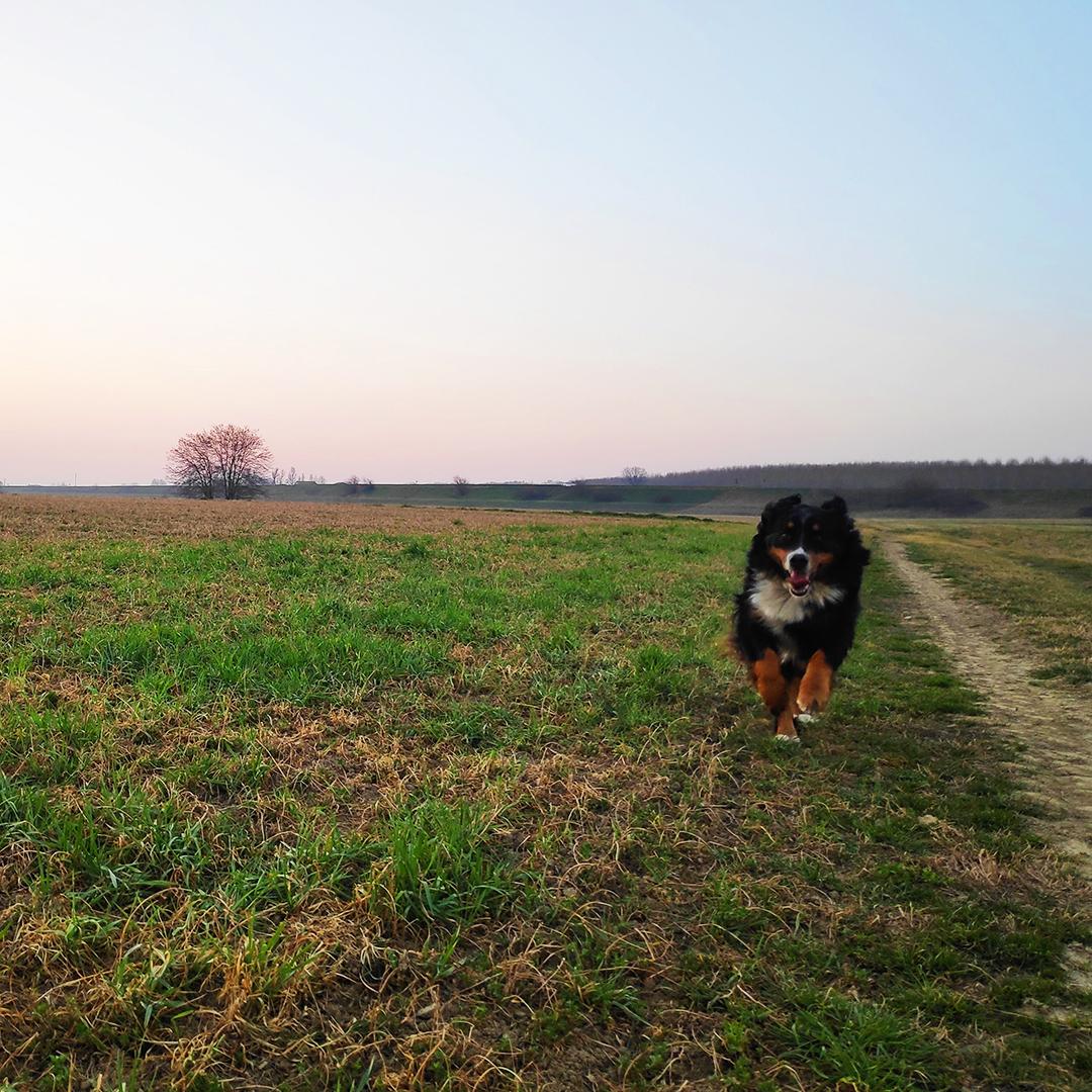 Oggi è Lunedi e questa è Isotta che corre in campagna #bernese #bernesemountaindog #berner #berneseofinstagram #berneselove #worldofberners #dogsofinstagram #dog #bernesedaily #bernesemountaindogs #berneseoftheday #dogs #bernesemountaindogsofinstagram #bernersennenhundpic.twitter.com/8Pfw2ROfzH