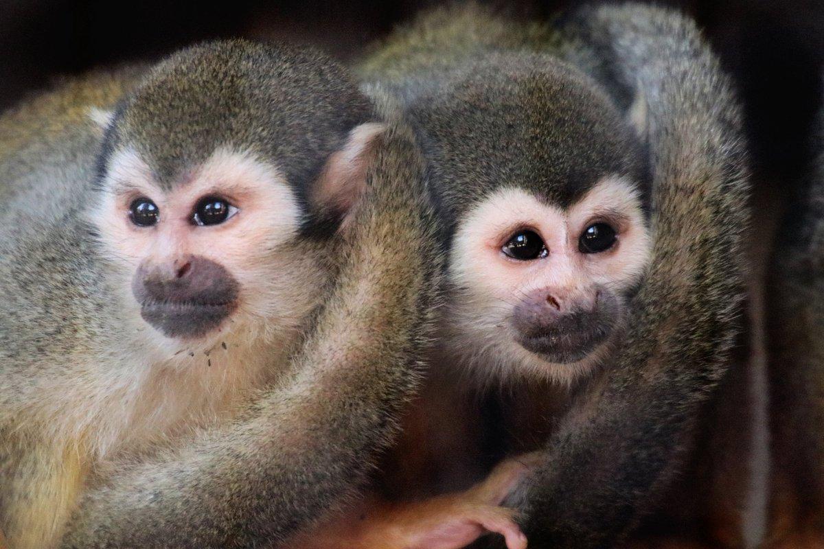 Squad Goals. #squirrelmonkey #primatesofinstagram #awsfzoo #NewBraunfels #Texas #SanAntonio #Austin #photography #PhotoOfTheDay #wildlife #CuteAnimalspic.twitter.com/5u2KtYwViW