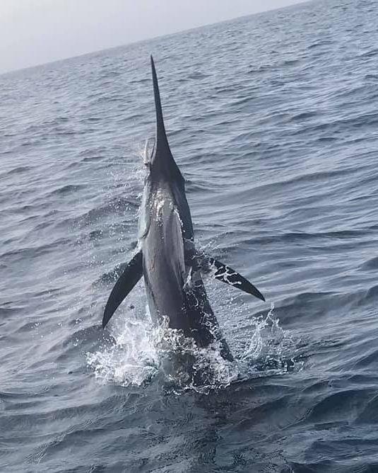 Watamu, Kenya - Eclare released 2 Blue Marlin and a Sailfish.
