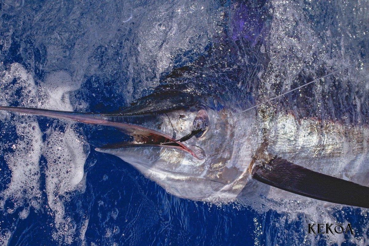 Fraser Island, Aus - Kekoa released a Striped Marlin.