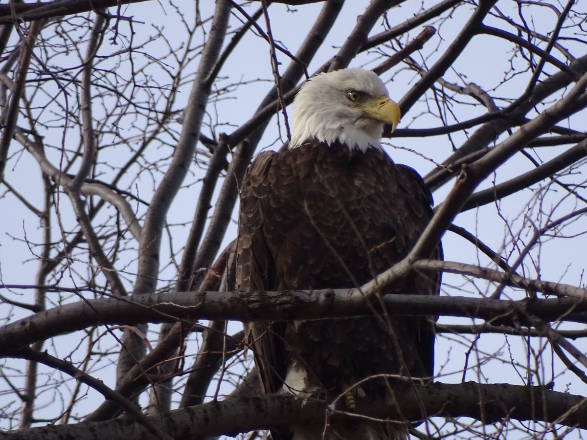 Finally got my replacement SD card reader, here is my best photo of the Bald Eagle in Riverside, last Thursday. #birdcp<br>http://pic.twitter.com/RHJGeVt1DX