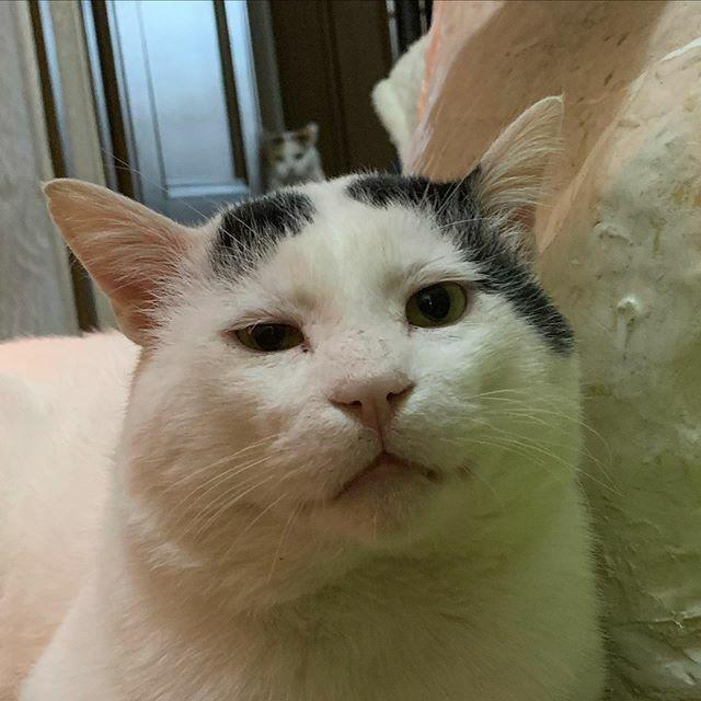 なんか、頭の上がモゾモゾする。 #うちの猫ら #猫 #ナナクロ #ミケ子 #ねこ #cat #ネコ #catstagram #ネコ部