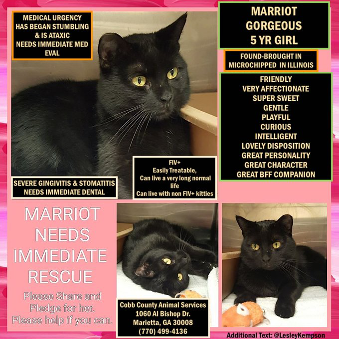 @brendaoncats MARRIOT MUST BE SAVED-NEED IMMEDIATE PLACEMENT MED URGENCY-STUMBLING & ATAXIC COBB COUNTY AS, MARIETTA, GA GORGEOUS 5 YR GIRL-FOUND: MC-ILL. FIV+ treatable FRIENDLY VERY AFFECTIONATE SUPER SWEET GENTLE CURIOUS INTELLIGENT CHARACTER GREAT BFF COMPANION
