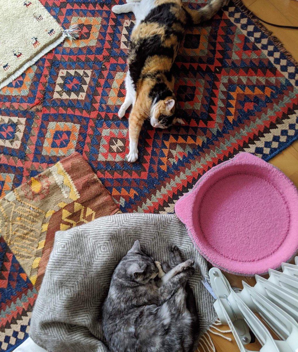 平和にお昼寝しているはずだったのに。ぐりたん、ベスポジを死守する。 #cat #ねこ #なかよしねこ #三毛猫 #グレーサビ #さび猫