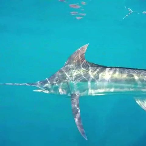 Guatemala - SpinDrift went 12-17 on Sailfish and 1-1 on Blue Marlin.
