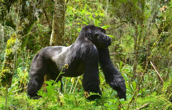 Did you know that Revenue from the sale of trekking permits to see the Mountain gorillas in Rwanda helps support Volcanoes National Park and three other protected wildlife reserves across the country?::#trek #explore #rwanda #RwOT #TuesdayThoughts