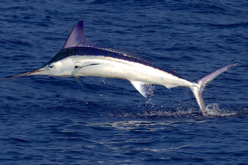 Kona, HI - Capt. BT on Melee released a Striped Marlin.