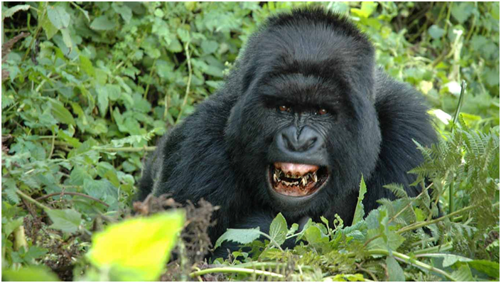 Gorillas have 32 teeth — the same number as humans.  Gorillas have two full sets of teeth during their lifetime, like humans.  #gorillasafari #gorillasafaris #gorillasafarisrwanda #gorillasafaripark #gorillasafariuganda #gorillasafariinuganda #gorillasafarisuganda https://t.co/DG5bePfMYA