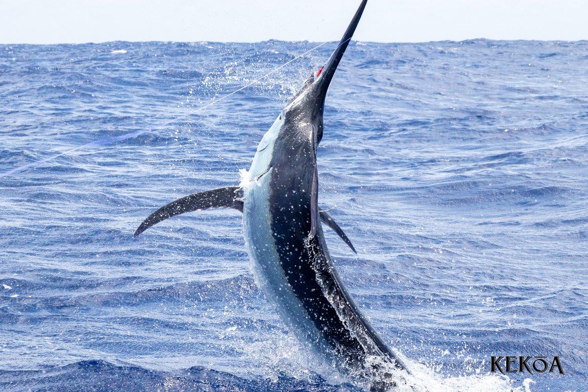 Fraser Island, Aus - Kekoa released 2 Black Marlin and 2 Blue Marlin.