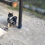 目を離したらどや顔で絡まっている柴犬がかわいい!