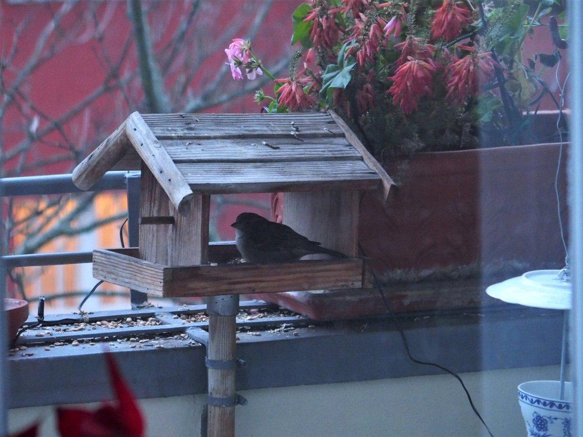 Der Wintergast Ich mag ja Vögel sehr. Und besonders Spatzen, weil diese sich ständig auf meinem Balkon tummeln. Zur Zeit begrüßt mich jeden Tag, wenn ich nach Hause komme, eine kleine Spätzin, die lange im Futterhäuschen sitzt. Vorgestern blieb sie für anderthalb Stunden. (1) pic.twitter.com/tdfJiOZPOK
