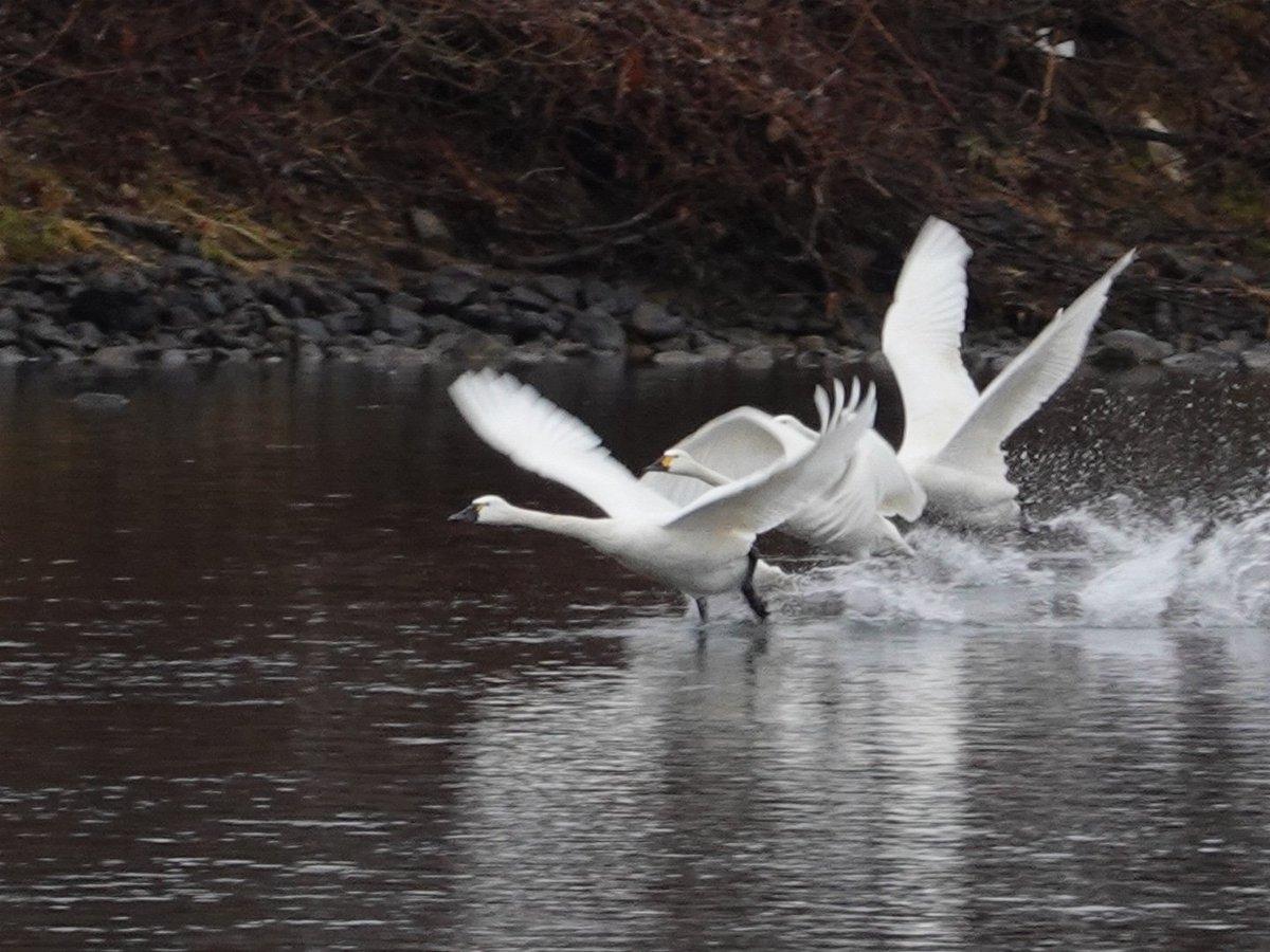 この時期に雨  この時期に盛岡周辺でコハクチョウ  変な冬、反動で冷夏にならなきゃ良いが。   #岩手 #盛岡 #野鳥 #白鳥 #コハクチョウ #アメリカコハクチョウ #北上川 #sonyrx100 #rx100m7 #wildbird #swan