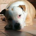 Image for the Tweet beginning: Palermo: Beatrice..Pitbull femmina, 5 anni