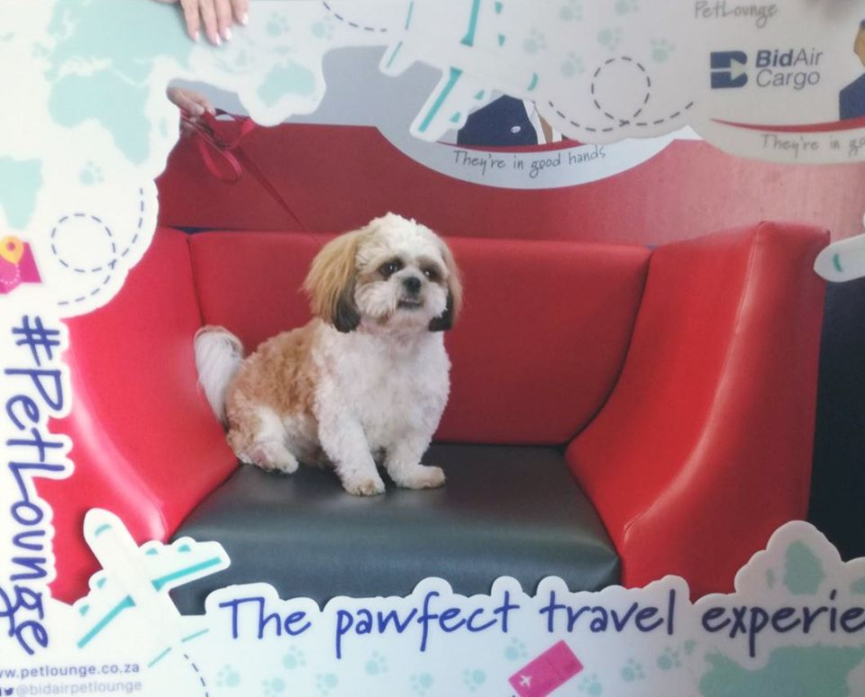 Beautiful Ollie is traveling on a https://t.co/g6GHistnjb flight from Johannesburg today. #PetLounge #AnimalTravel  #instapaws #petlovers #loveforpets #animaltransportation #animals #petsoftwitter #pets https://t.co/clPsE8HbDm
