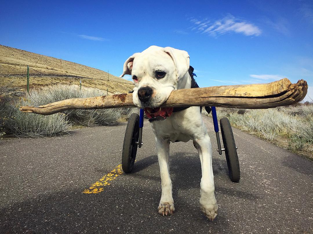 How to Help Your Disabled Pet Thrive! #walkinpets #handicappedpets #dogs  https://www.handicappedpets.com/blog/thriving-disabled-pets/ …pic.twitter.com/cenZV8sJpb