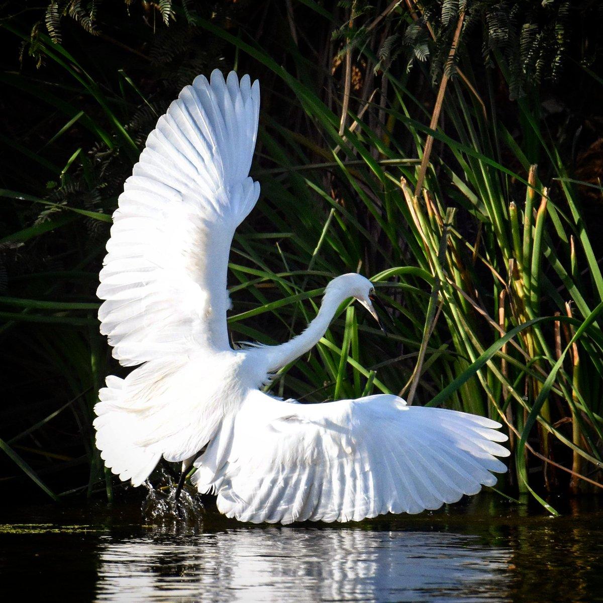 Little Egret Location: #Bahra #Makkah Region #SaudiArabia #birds #photooftheday #wildlife #ksa #nature #photo #photography #photographer #amazing #travel #birdsphotography #sauditourism #beauty #wildlifephotography #beautiful @SaudiMagazine @IASArabia @SCTAEN @SeeSaudi @SapracOrg
