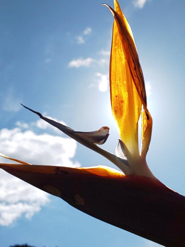 ストレリチア #花 #flower #ストレリチア #極楽鳥花