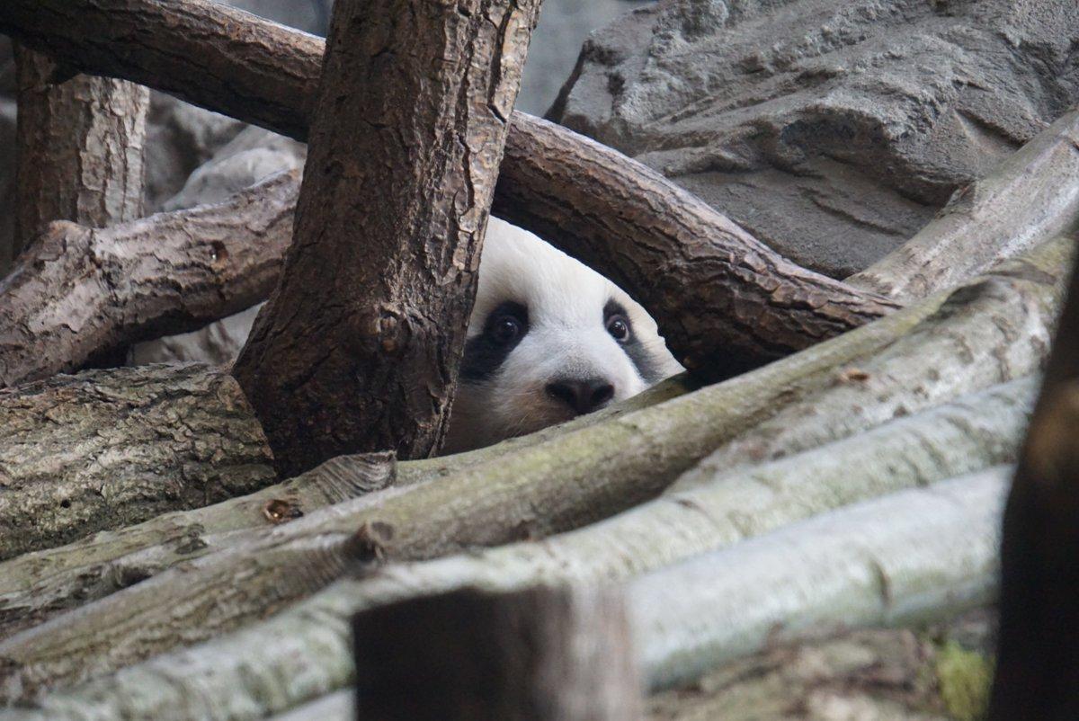 Blitzlichtgewitter im @zooberlin: Zum ersten Mal erkundeten heute die Panda-Zwillinge Meng Yuan und Meng Xiang ihr Gehege. Ab morgen können Zoo-Besucher die tapsigen Bären ganz offiziell bestaunen. #pitundpaule #pandapic.twitter.com/0dEVA2N2Pi