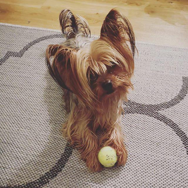 Wer spielt mit mir? . . . #miro #spielstunde #spiel #spielen #playtime #play #herzaufvierpfoten #yorkie #yorkshire #yorkshire_terrier #petstagram #hund #dog #dogstagram #dogoftheday #yorkshireterrier #dogsofinstagram #yorkiesofinstagram #terrier #yorkieg… https://ift.tt/2U6DsBfpic.twitter.com/wT8n0tdx2U
