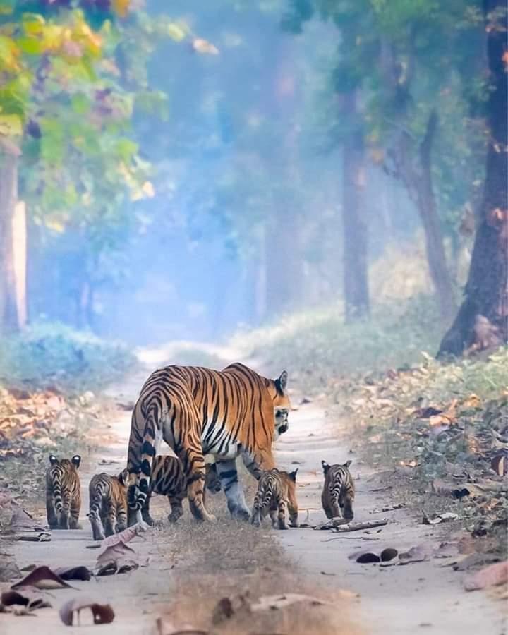 Morning walk with family 🐯  #wildlifephotography #wildlife #NaturePhotography #naturelover #beautifulworld
