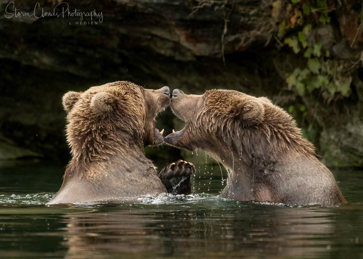 #mirror #bears! Sibling #Kodiak #grizzly #bears at play last fall. #nikonz7 #wildlifephotography #naturephotography #yourshot_world #river #fighting