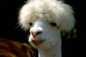 Very weird-lookin llama(?) face. White fur, extra puffed on top of its head, and has a FURIOUS underbite.