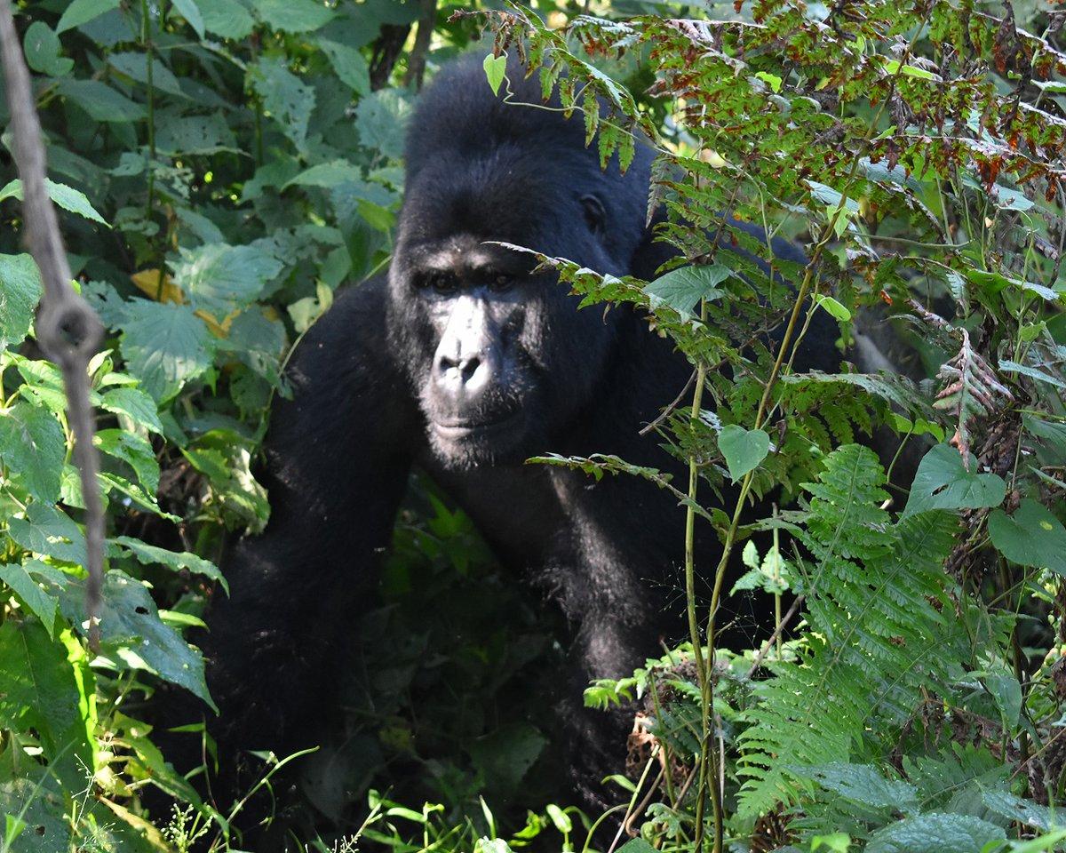3 Days Gorilla Safari Uganda. Reach out to our team of experts for detailed info about #GorillaSafariUganda via: https://t.co/7Ab4eVjJZO https://t.co/wj4BLkXpP0