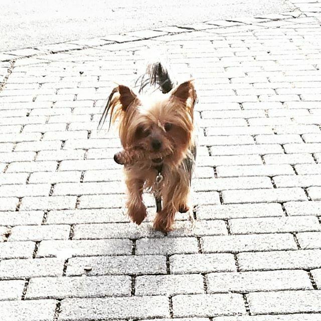 Spaziergang in der Sonne  . . . #miro #sonnetanken #spaziergang #walkinthesun #walk #herzaufvierpfoten #yorkie #yorkshire #yorkshire_terrier #petstagram #hund #dog #dogstagram #dogoftheday #yorkshireterrier #dogsofinstagram #yorkiesofinstagram #terr… https://ift.tt/31a4mtrpic.twitter.com/yhtsP87t5m
