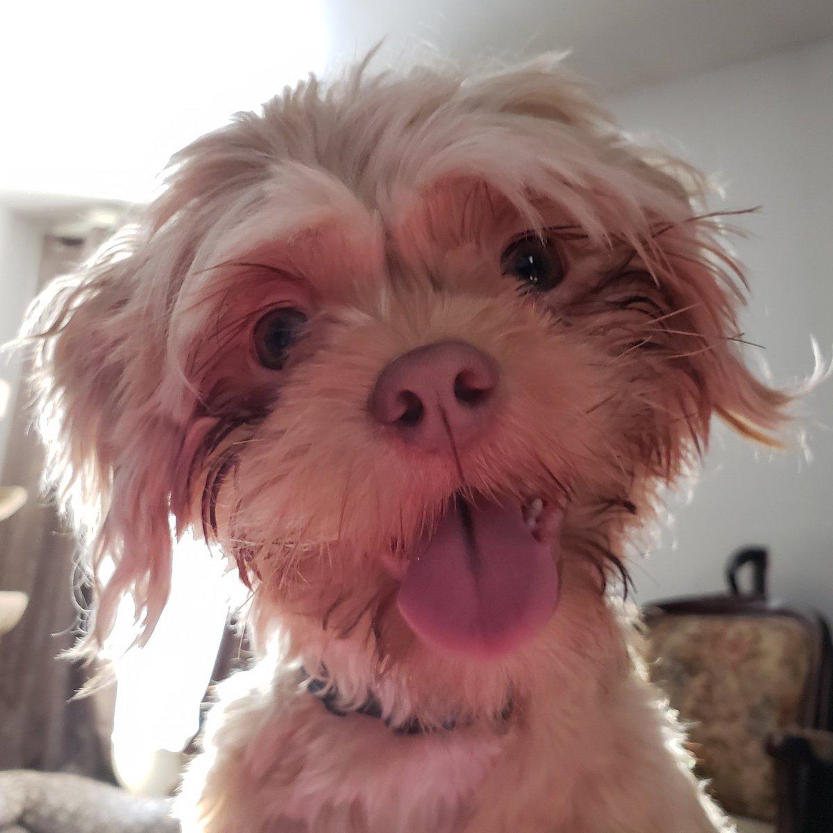 Joey loves to #smile #smilingdog #dogsmiles #lovestosmile #muppetdog #dog #dogs #cutedog #dogtongue #dogsarejoy #dogphoto #dogslovinglife #doglooks #dogsarelovepic.twitter.com/DRnQ0CQBfN