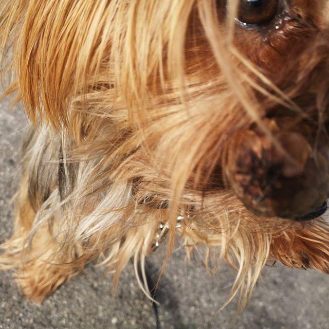 Passt der Tannenzapfen auch ins Handy? . . . #miro #spaziergang #walk #tannentapfen #neugierig #herzaufvierpfoten #yorkie #yorkshire #yorkshire_terrier #petstagram #hund #dog #dogstagram #dogoftheday #yorkshireterrier #dogsofinstagram #yorkiesofinstagram… https://ift.tt/2RMwu2Wpic.twitter.com/IXFq2qe5fg