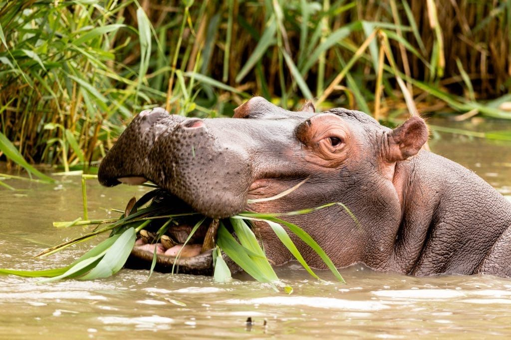 The hippopotamus is Africa's deadliest animal. It kills more people in Africa than do crocodiles and lions combined.