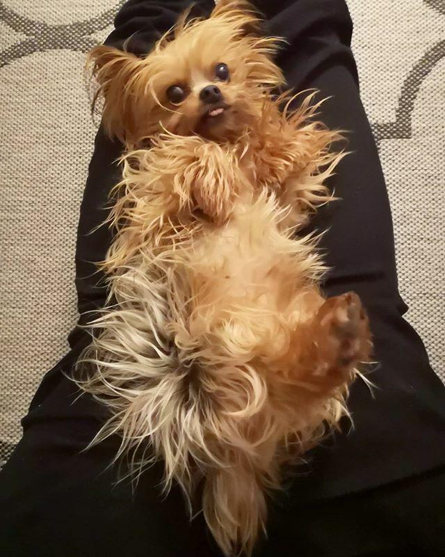 Einfach den Sonntag mal relaxt angehen . . . #miro #relaxed #relax #relaxtime #herzaufvierpfoten #yorkie #yorkshire #yorkshire_terrier #petstagram #hund #dog #dogstagram #dogoftheday #yorkshireterrier #dogsofinstagram #yorkiesofinstagram #terrier #yorkie… https://ift.tt/36OgdPmpic.twitter.com/W6I44rcCaa