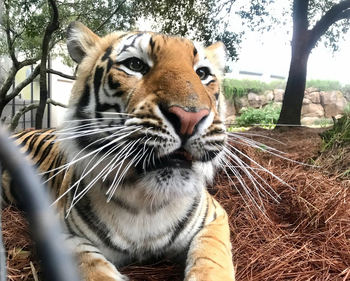This Monday requires a Tiger close-up.