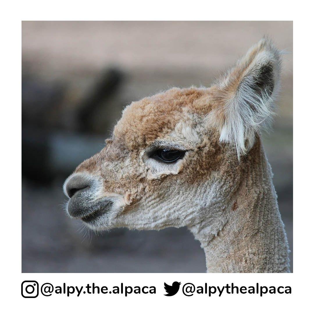 After haircut  . .  DM me for Credit/Removal  . . . . . #alpy #alpy.the.alpaca #alpaca #alpacagram #alpacalover #alpacas #alpacasofinstagram #alpacaworld #dailyalpaca #lllama #llamas #alpaka #alpakas #alpaga #alpagas #アルパカ #alpacalove #альпакаpic.twitter.com/UV3q72TGbk
