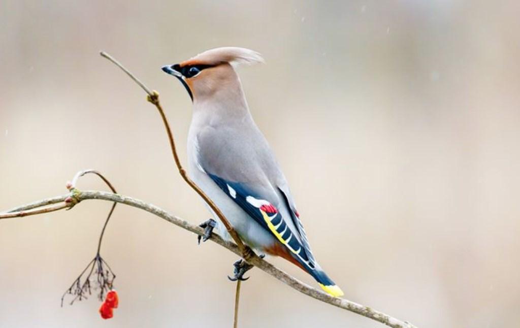 Pestvogel strijkt neer in Amersfoort en is trekpleister voor veel vogelspotters [AMERSFOORT] In de omgeving van Schothorst is een zeldzame wintergast gespot. Dit weekend namen diverse vogelspotters een kijkje en zij wisten de kleurrijke pestvogel op de... http://twib.in/l/RLnEyaoeeL6npic.twitter.com/NGPlN9Jpl6