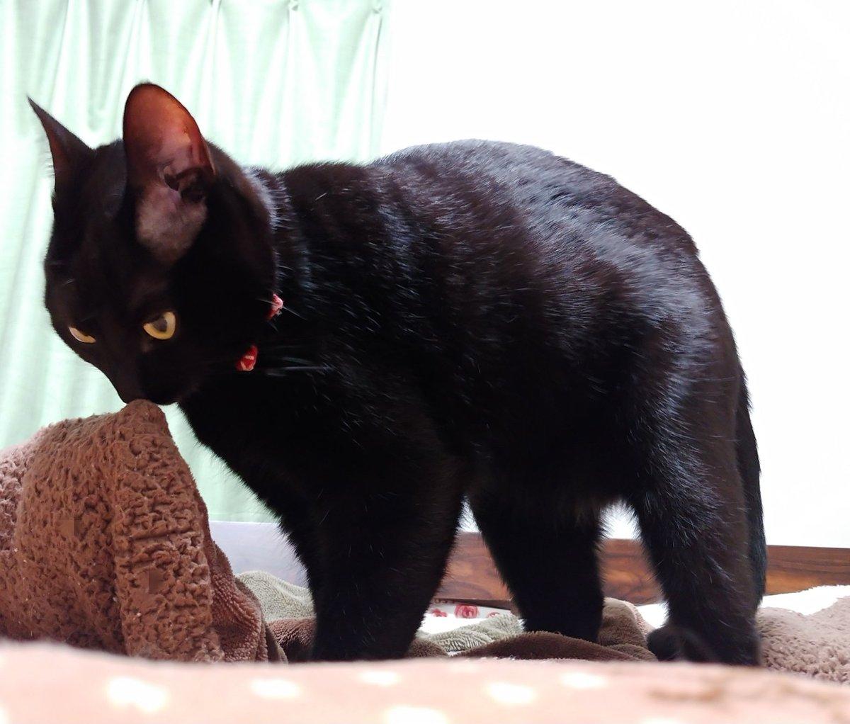 670日目。別室の電気を付けたら、黒猫が毛布を噛みながら大変真剣に手でフミ…フミ…とまるで職人技のようにフミフミしていた。こちらに気付いてとても驚いた顔で毛布を離した。
