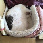 Image for the Tweet beginning: 見猫! 見猿に対抗して(^^;; あんまり猫に見えんw見牛、見熊、見パンダ、、見熊猫か。 2ヶ月後の4/17(金)に 新ユニット「じろうじゃず」のライブをやります。武蔵中原ライフにて♪コロナウィルスが収束してますように。  #cat #katze #gatto #chat #고양이