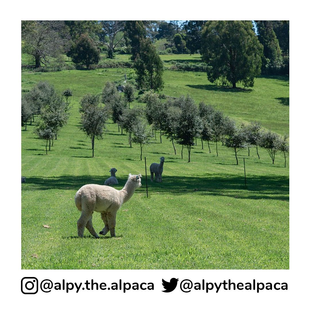 It looks so peaceful . .  DM me for Credit/Removal  . . . . . #alpy #alpy.the.alpaca #alpaca #alpacagram #alpacalover #alpacas #alpacasofinstagram #alpacaworld #dailyalpaca #lllama #llamas #alpaka #alpakas #alpaga #alpagas #アルパカ #alpacalove #альпакаpic.twitter.com/eytXGXOeEJ