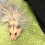 触れるとばちりと来そう・・・!静電気で毛がとんでもないことになっちゃってるハムスター!