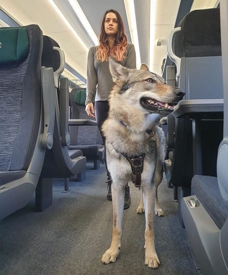Train adventure with mom.  Use #wolfgurus to be featured here.   Follow @GurusWolf  if you loves wolves  Click here => https://www.wolfgurus.com/  #wolf #wolfart #paintingoftheday #wolf #wolves #wolfdog #wolfdogs #wolfdogsofinstagram #wolfdogcommunity #realwolfdog pic.twitter.com/eswBWGbJuC