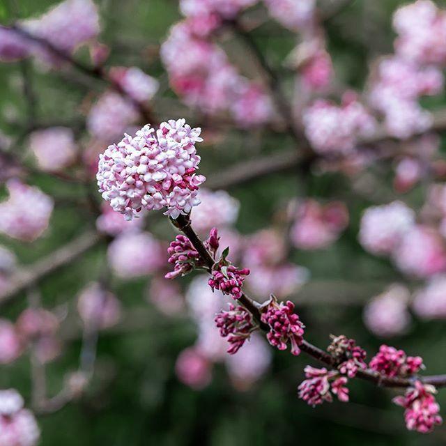Zierkirchblüte im Februar?! #kirchblüten #zierkirchblüten #february #hessen #hessentourismus #hessenüberrascht #deutschland #naturphotographie #naturephotography #canondeutschland #canon #liveforthestory #eosr #ef70200  enthält unbezahlte Werbung https://ift.tt/2OYzLKHpic.twitter.com/KjHVBOOqvE