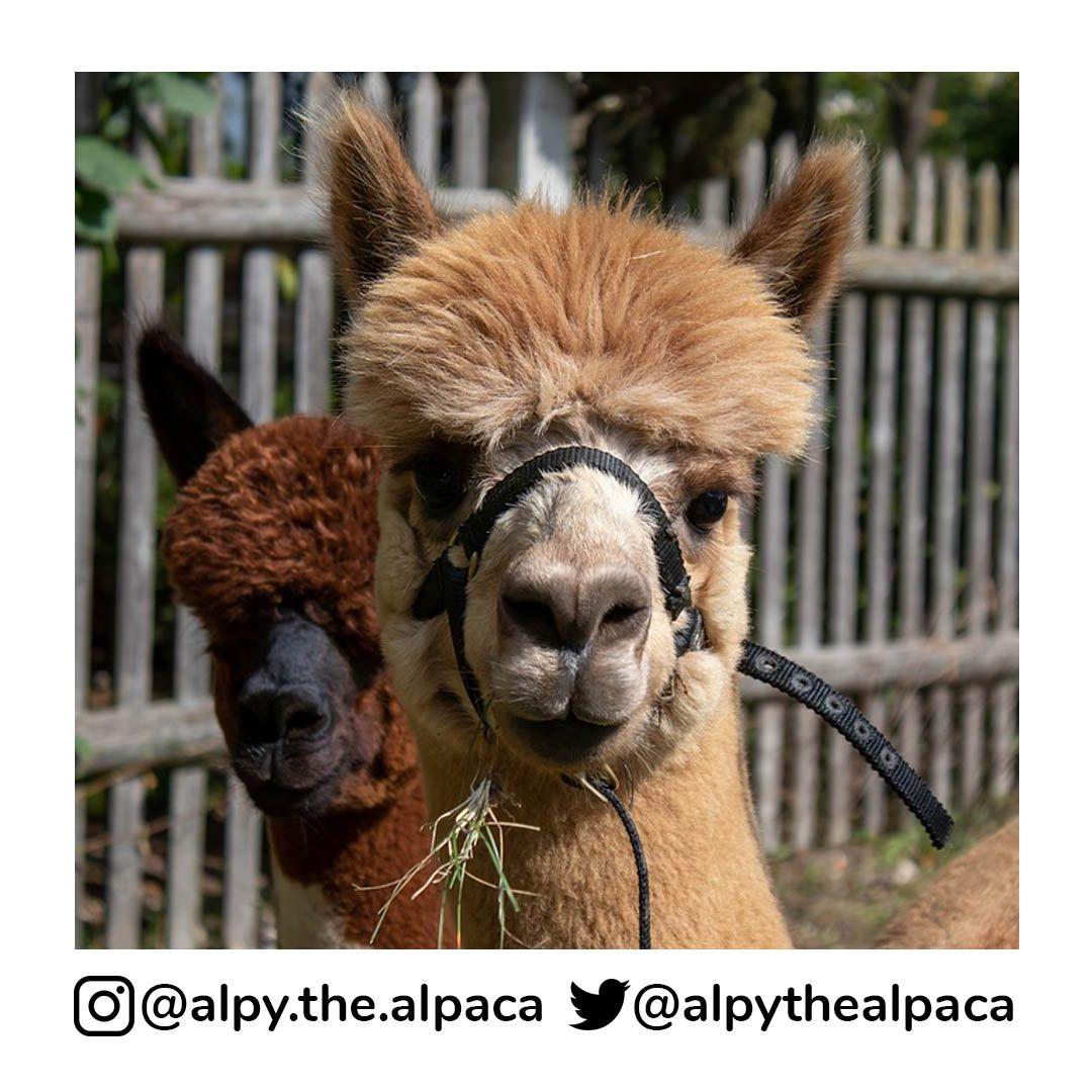 is my favourite food  . .  DM me for Credit/Removal  . . . . . #alpy #alpy.the.alpaca #alpaca #alpacagram #alpacalover #alpacas #alpacasofinstagram #alpacaworld #dailyalpaca #lllama #llamas #alpaka #alpakas #alpaga #alpagas #アルパカ #alpacalove #альпакаpic.twitter.com/2kctrjEcAb