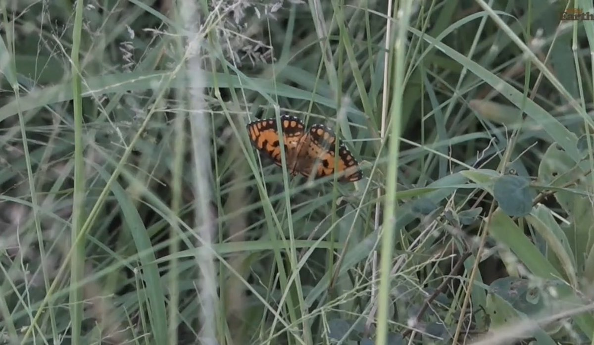 #wildearth Another Spotted Joker. I really, really like them. pic.twitter.com/RLfjMs0up8